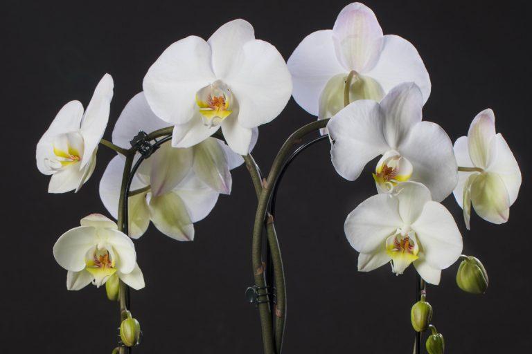 VW Orchids viert 1-jarig marktbestaan