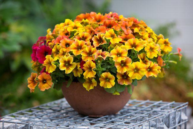 BeautiCal is volgens Pull Position en De Grote Tuinverbouwing de parel van de FlowerTrials 2019.