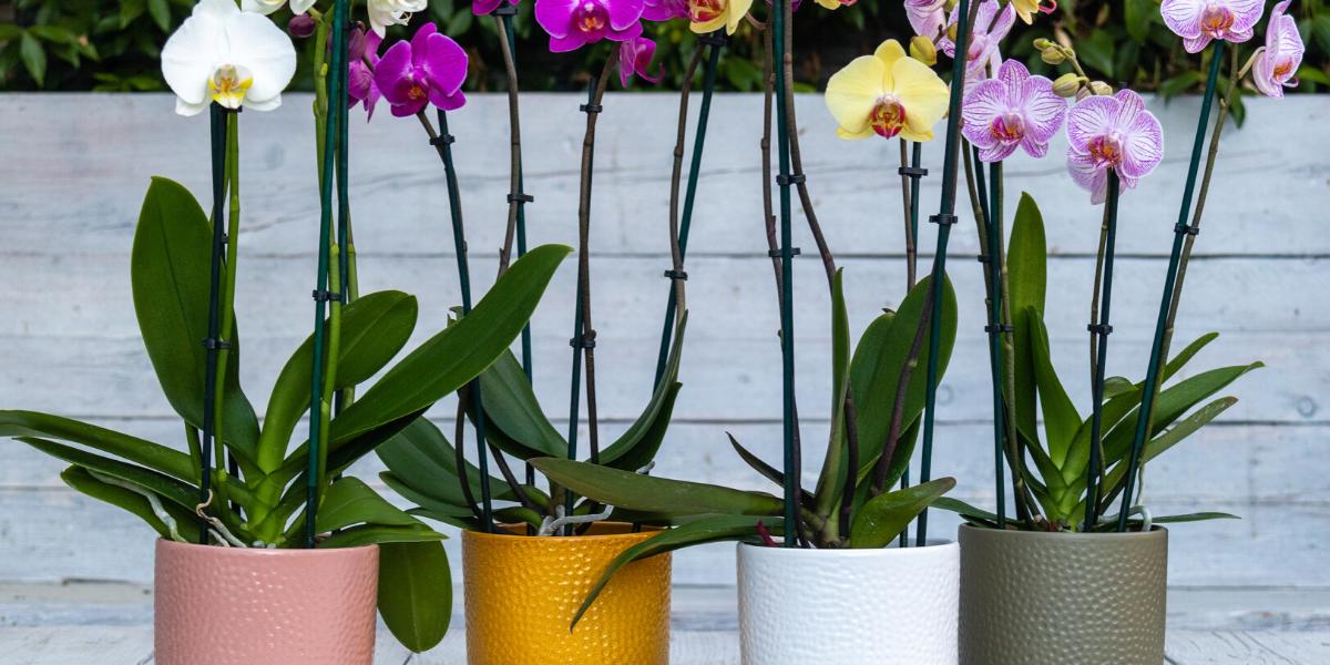 Artisan verkoopt nu orchideeën in eigen webshop